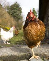 UBC-chicken