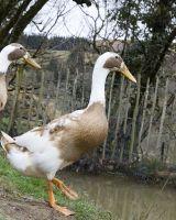 UBC-duck